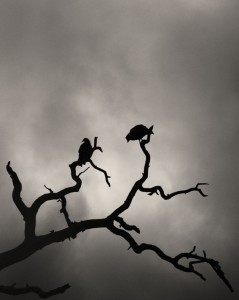 Vultures in a Tree, Texas